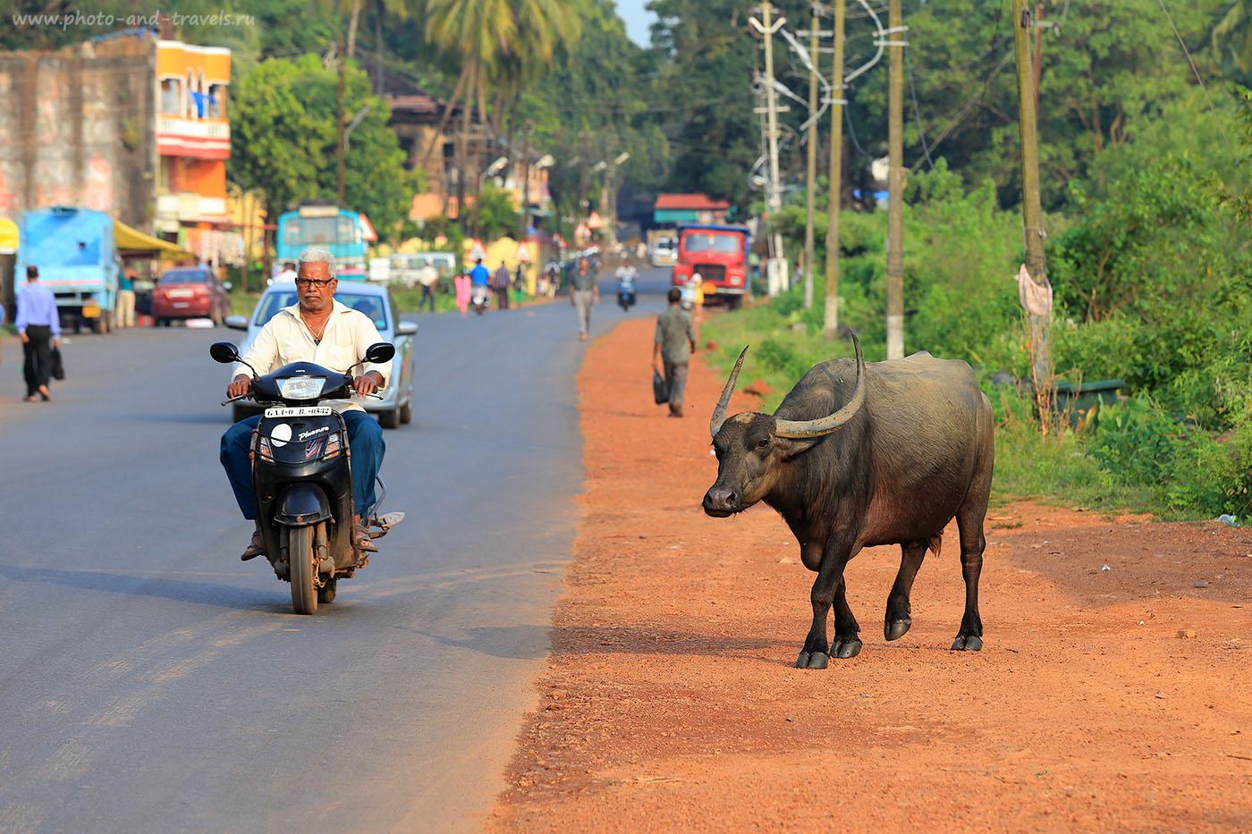 Фото 3. Буйвол на дороге. Отзыв об отдыхе на Гоа в октябре (70-200, 1/200, 0eV, f8, 191mm, ISO 200)