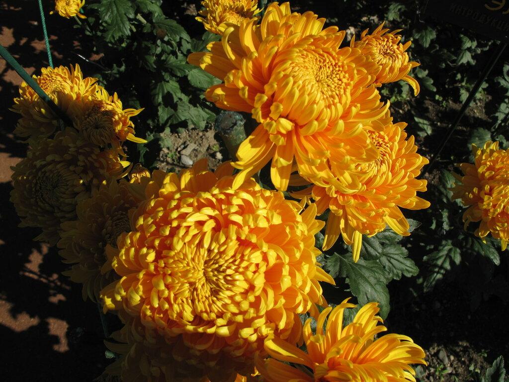 этом хризантема описание фото корейская золотая осень такими глазами можно