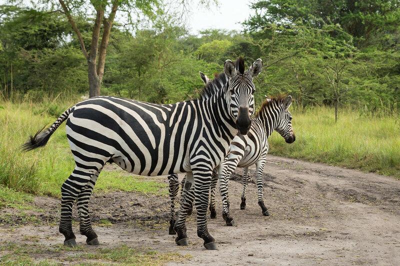 Бурчеллова зебра (Equus quagga)