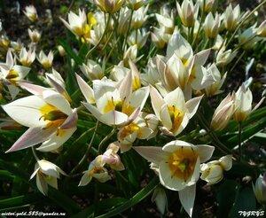 Тюльпаны - Страница 6 0_158c71_67d39c53_M