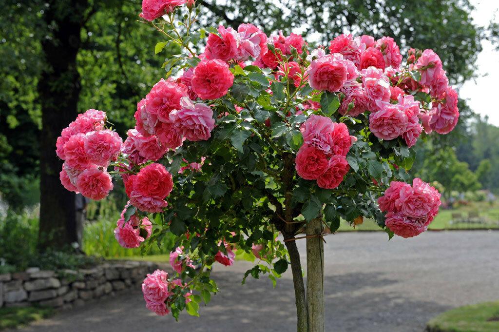 rosarium-uetersen.jpg
