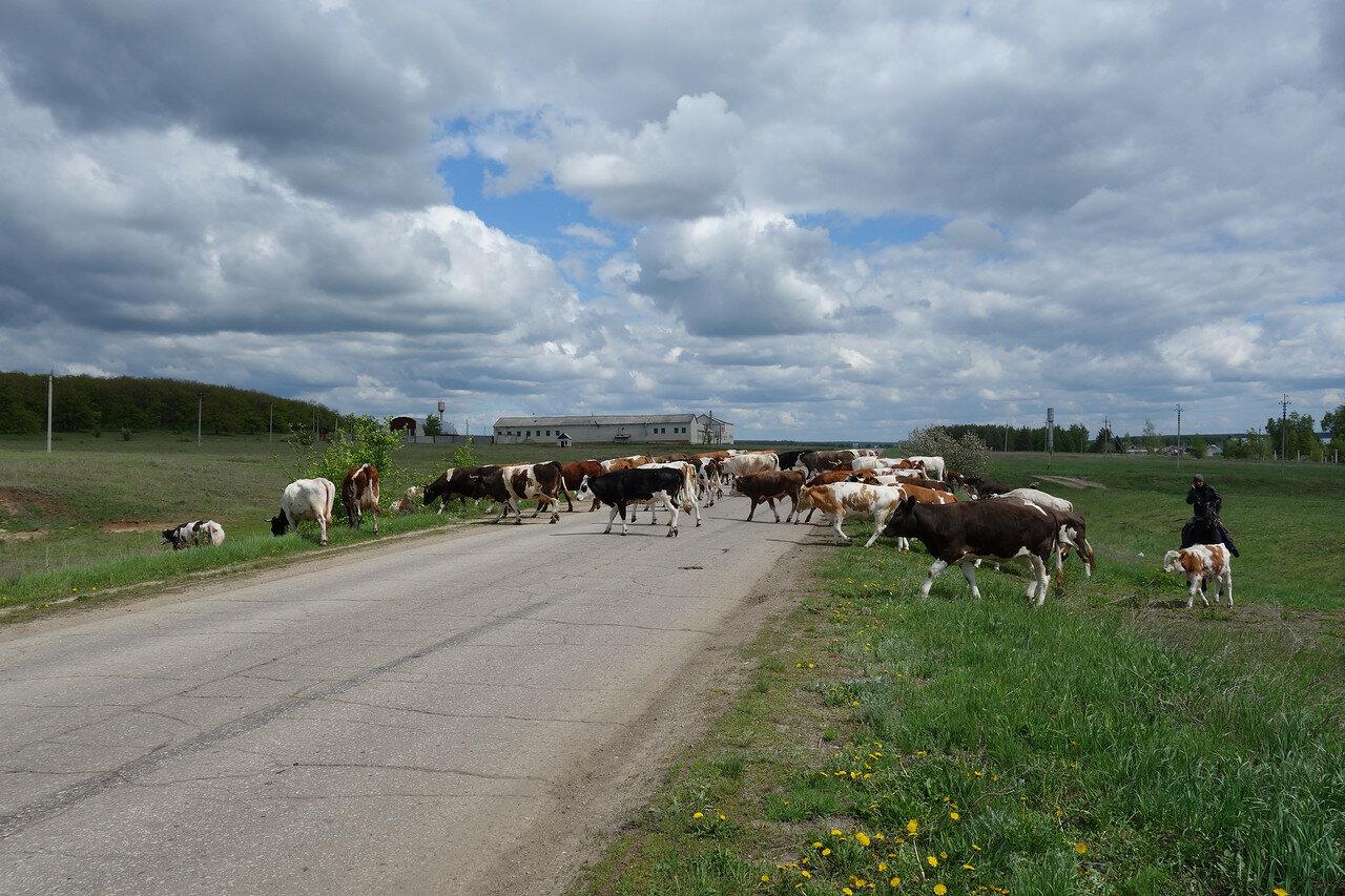 коровы на шоссе