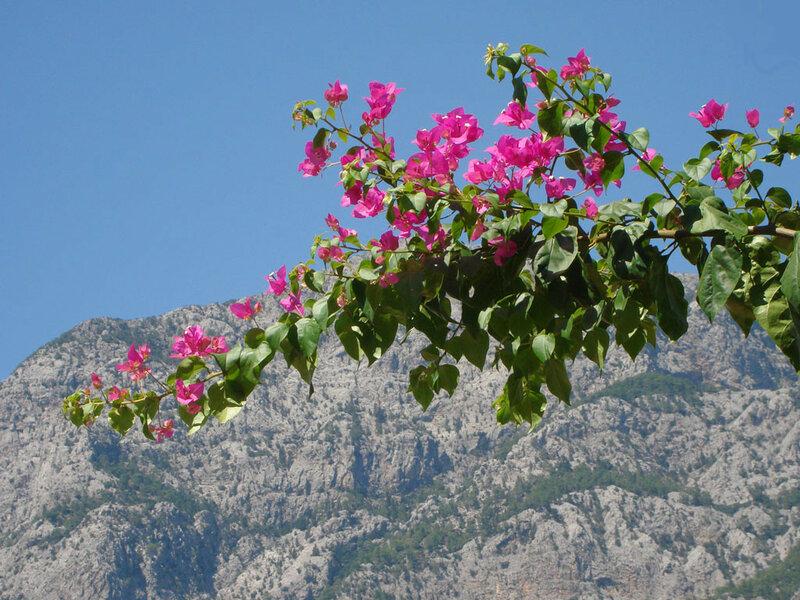 Фотография : Бугенвиллея - Горные цветы на ветке, фотограф Апарышев, день рождения, поздравление, цветок, цветы, юбилей, фотография, фото, flows, фотки.