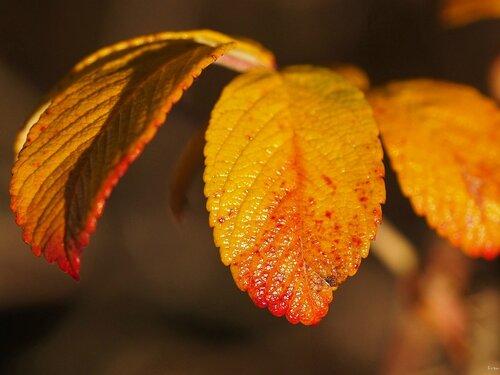 Румяные листья