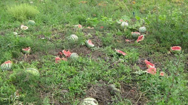 Остатки элитных бахчевых с благодарностью смазали дерьмом: В России коровы уничтожили поле экспериментальных арбузов