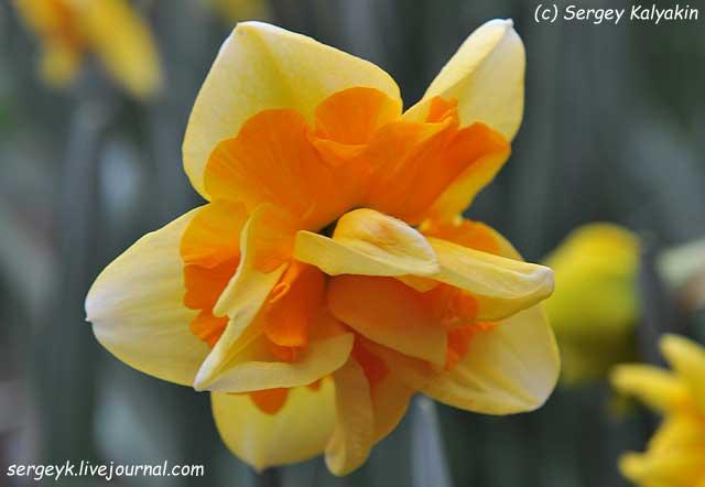 Narcissus Jersey Star.JPG