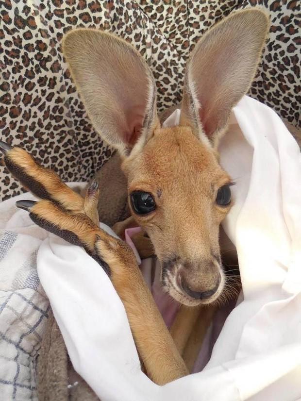 4. «Однажды, работая гидом, я заметил кенгуру, лежащего на дороге. Я вышел из автобуса, чтобы провер