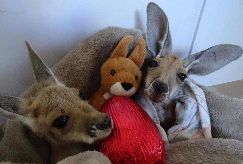 17. С момента открытия в 2005 году заповедник помог выжить более 200 кенгуру.