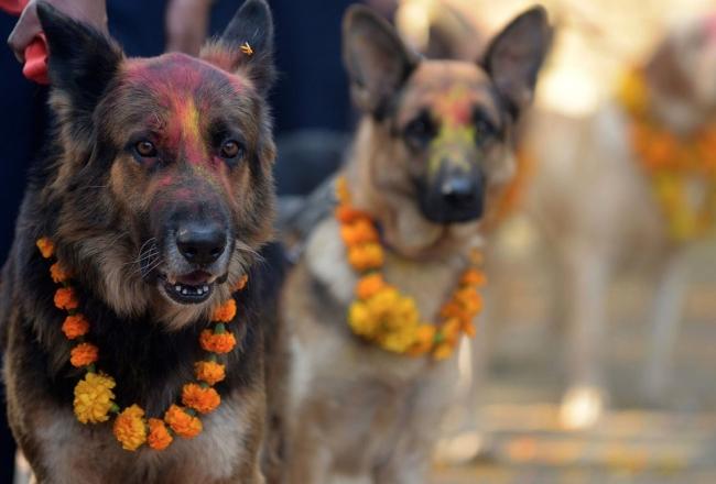 У индуистов есть целый фестиваль, чтобы благодарить собак за верность и преданность (11 фото)