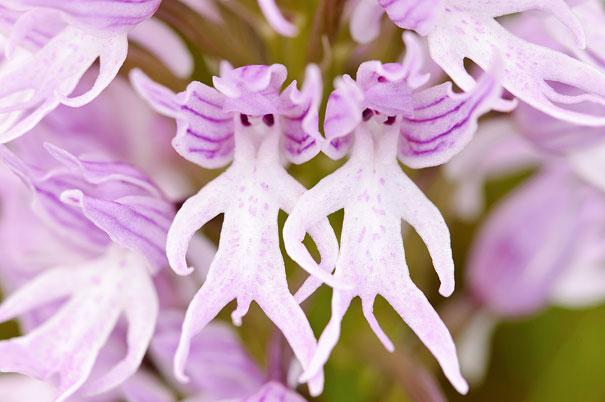 6. Орхидея «голый человек»