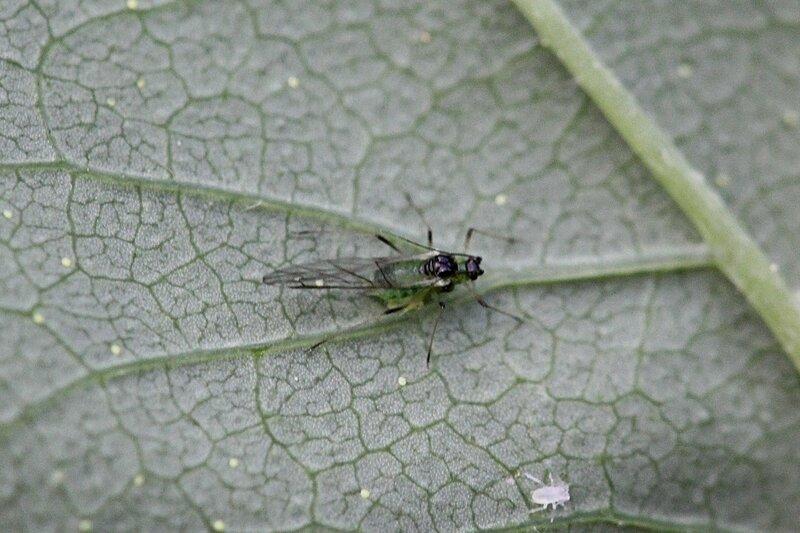 Крылатая зелёная тля с черной головой, спинкой и ножками на листке