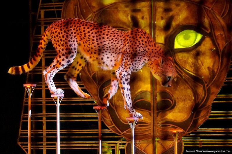 Осень. Цирк Костюк. гепарды. 31.10.16.07а..jpg