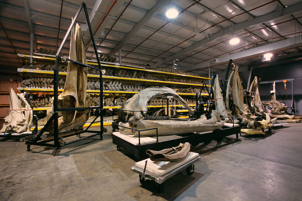 Whale skeletons from the Department of Vertebrate Zoology's marine mammals collections are displayed