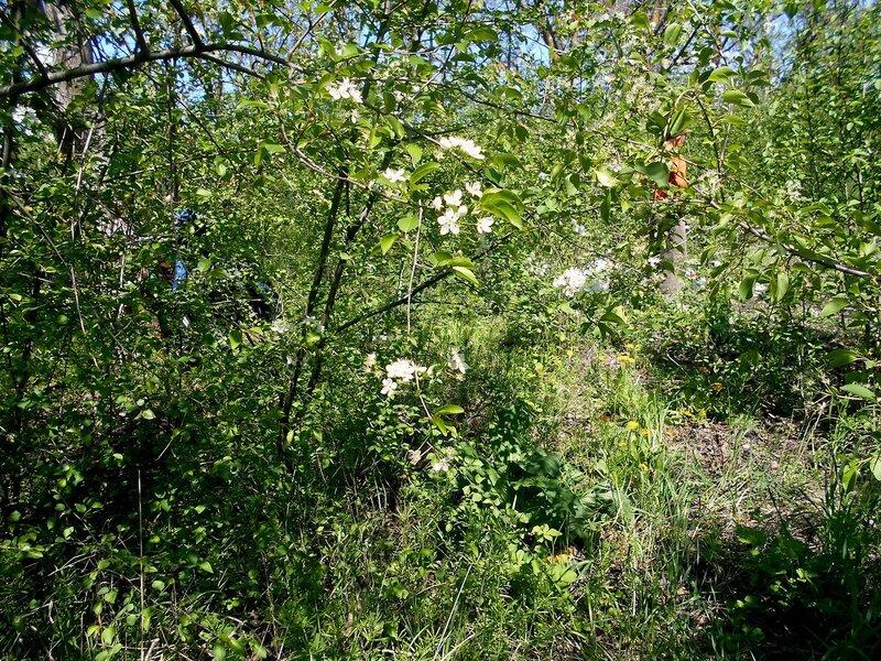 Лесное цветение ветвей весенних... DSCN5282.JPG