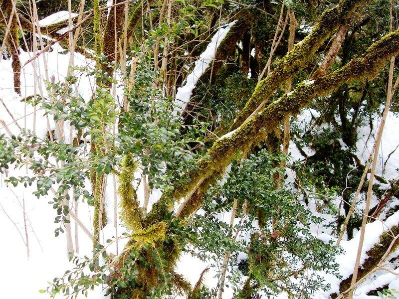 У тропы, белый снег, зелёный лист ... SDC18632.JPG
