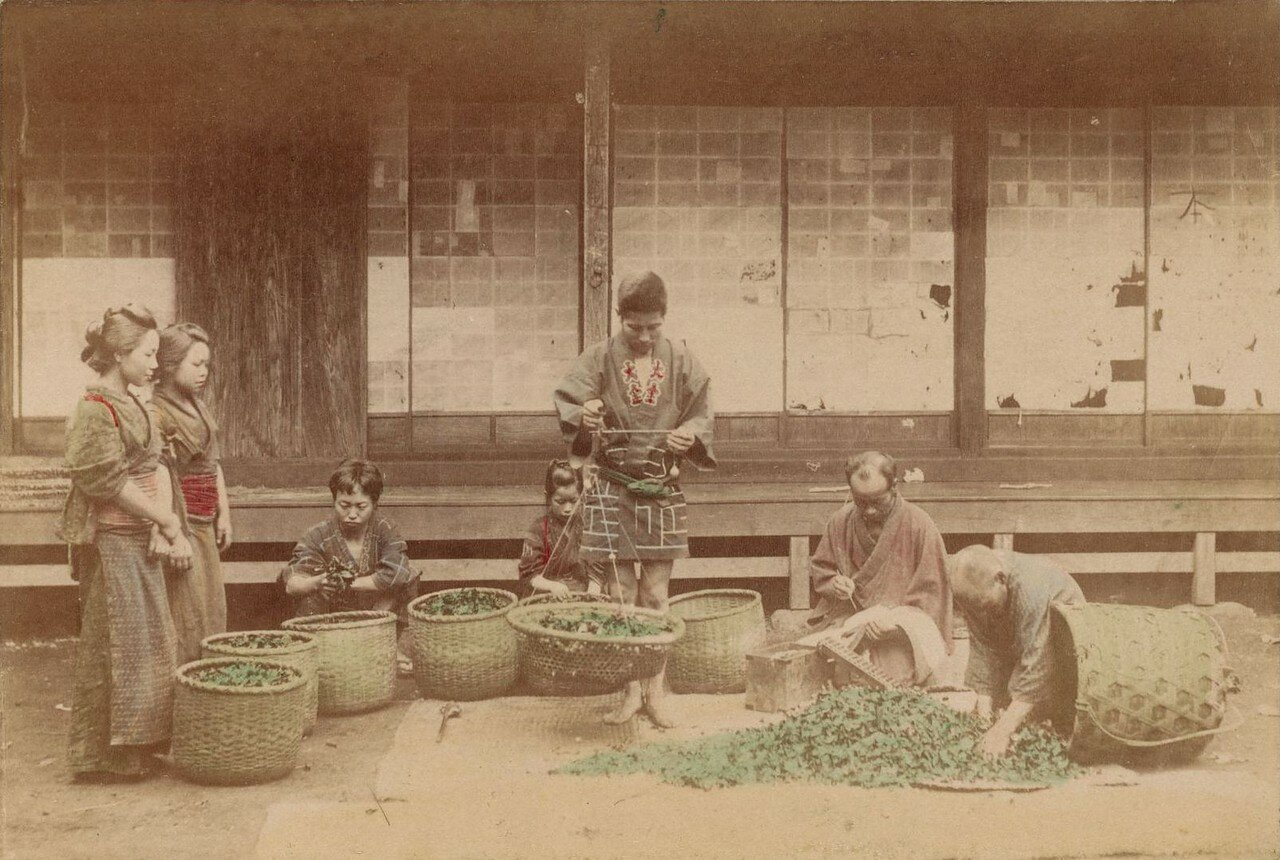 Взвешивание листьев для кормления тутового шелкопряда