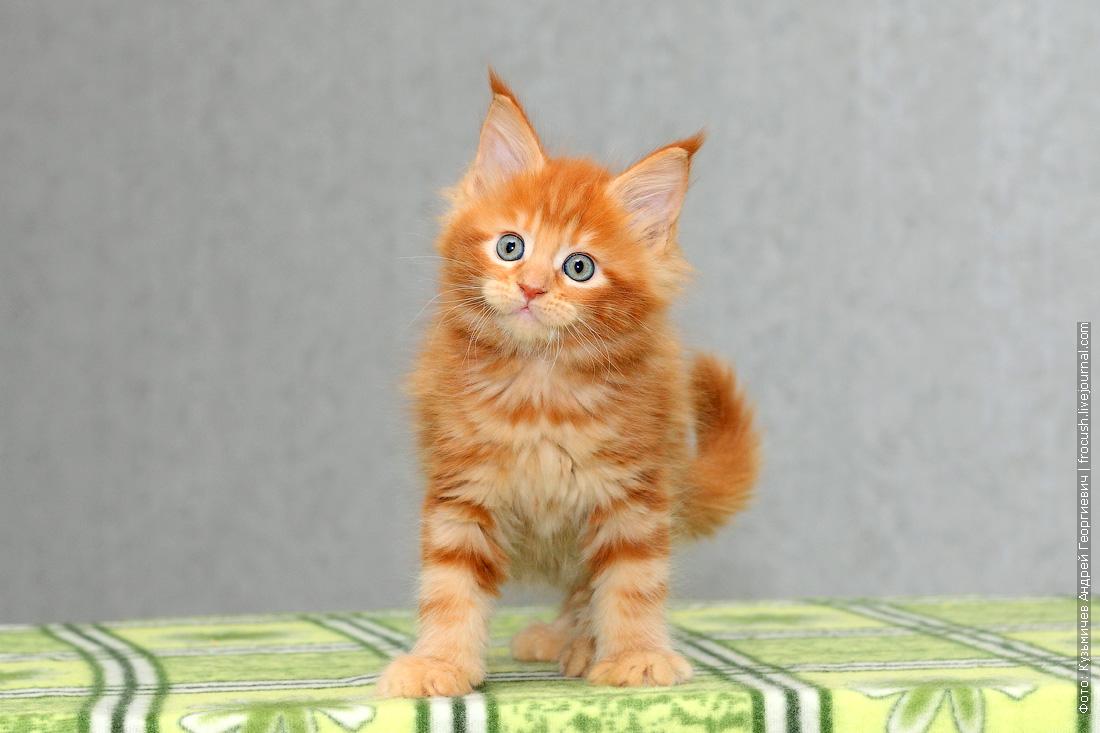 красный котенок мейн кун из питомника