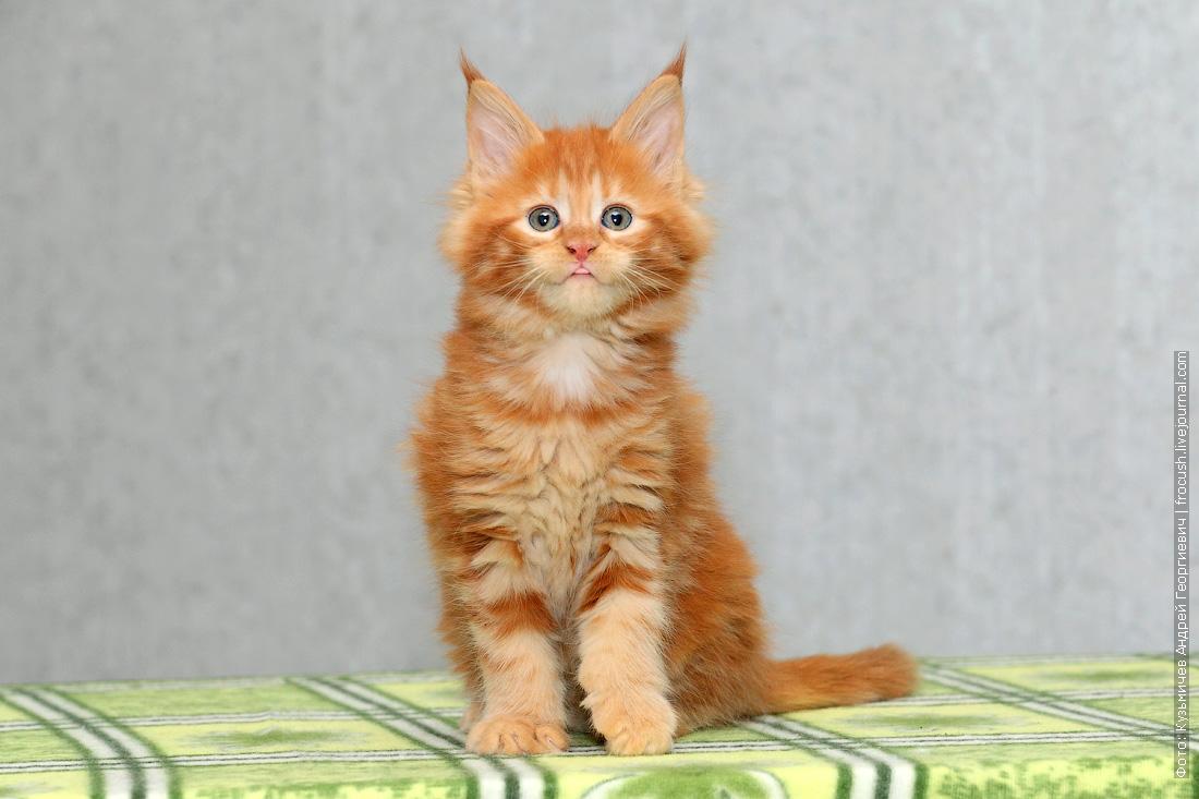 питомник котенок мейн кун