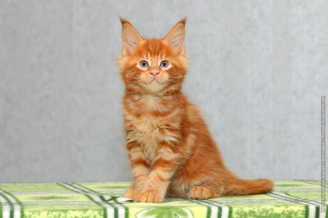 в Москве питомник красный котенок мейн кун
