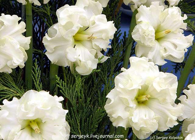 Narcissus Sunnyside Up.JPG