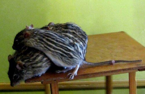 Полосатая мышь.