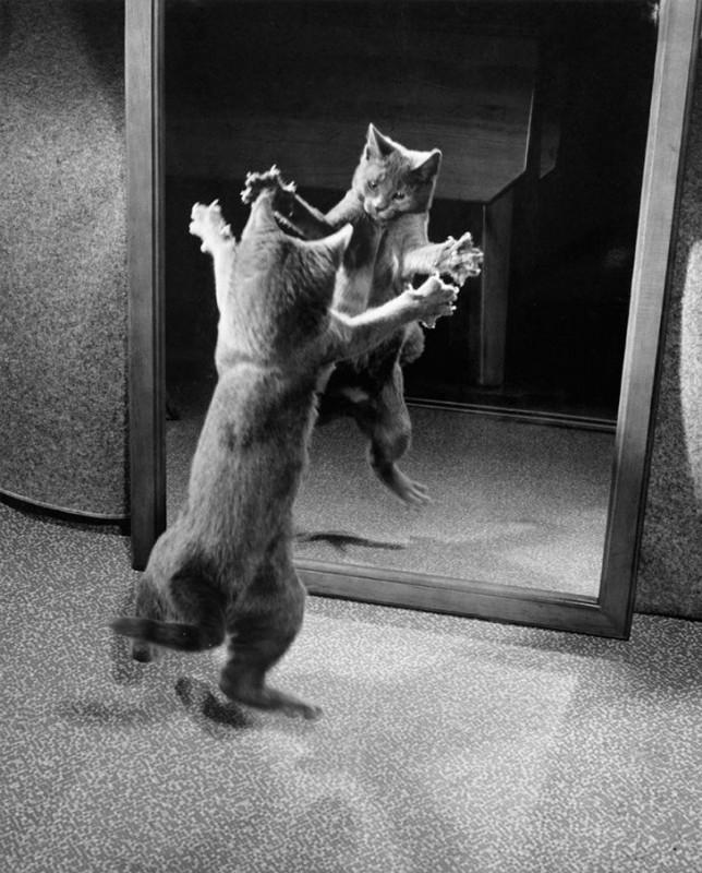Котенок атакует собственное отражение, 1964 год.