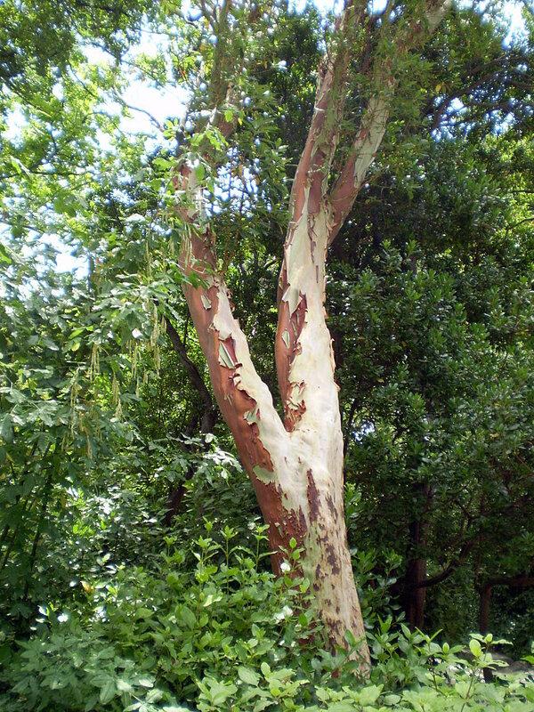Дерево-нудист