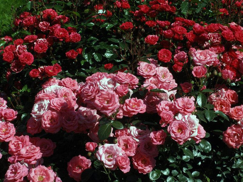 Розы Петегрофа