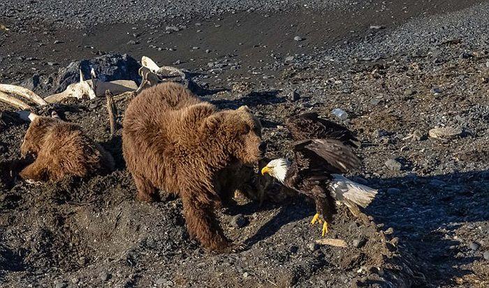 Белоголовый орлан поплатился жизнью, позарившись на добычу медведей