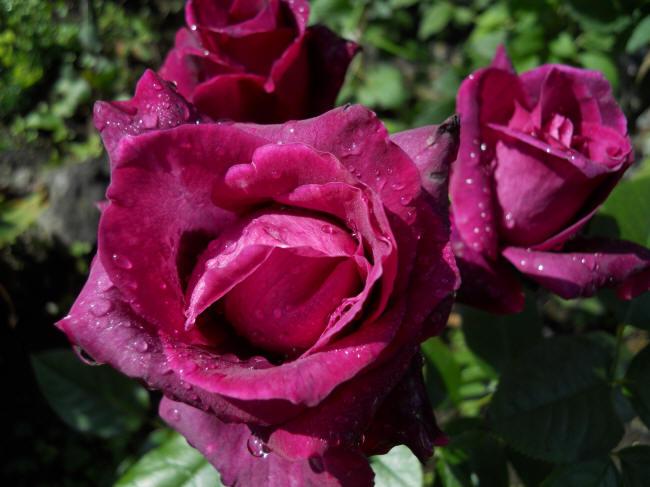 Пурпурові троянди