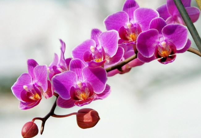 Гілка квітучої фаленопсиса