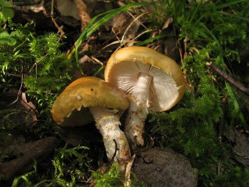 Впервые встретил этот вид. Надо сказать, довольно симпатичные и аккуратные грибочки Автор фото: Станислав Кривошеев