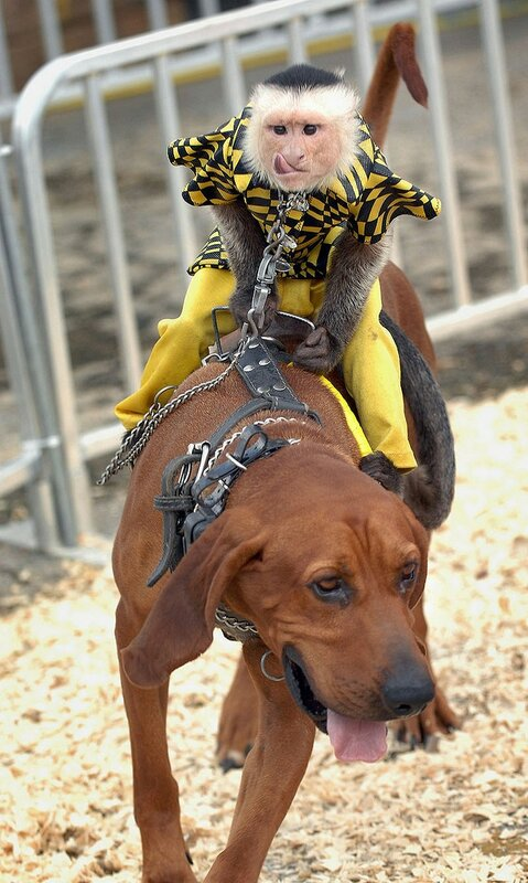 Dog-riding Monkeys race at Alabame state fair, Birmingham AL