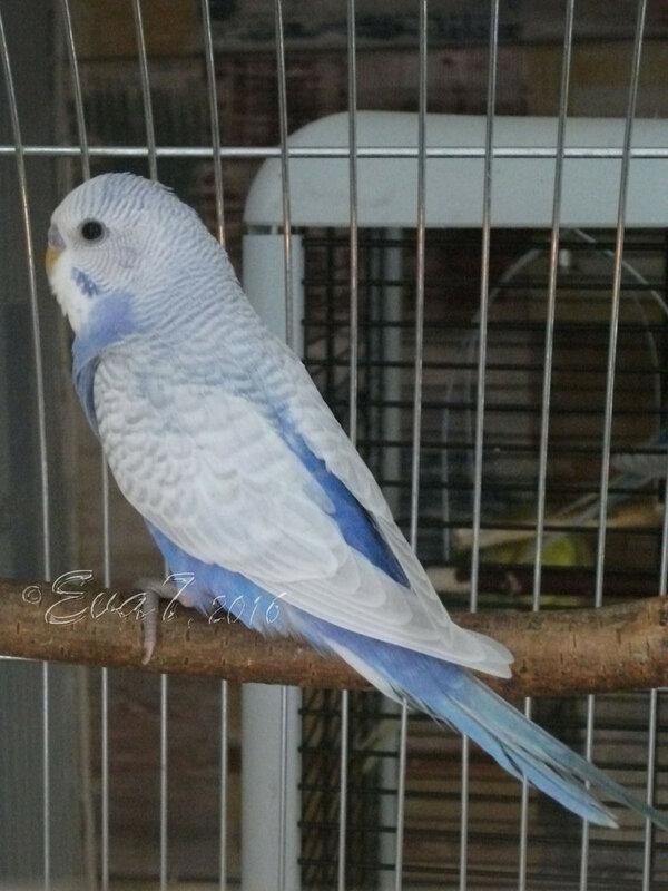 Продам птенцов волнистого попугая. Киев 0_c34e0_776300a3_XL