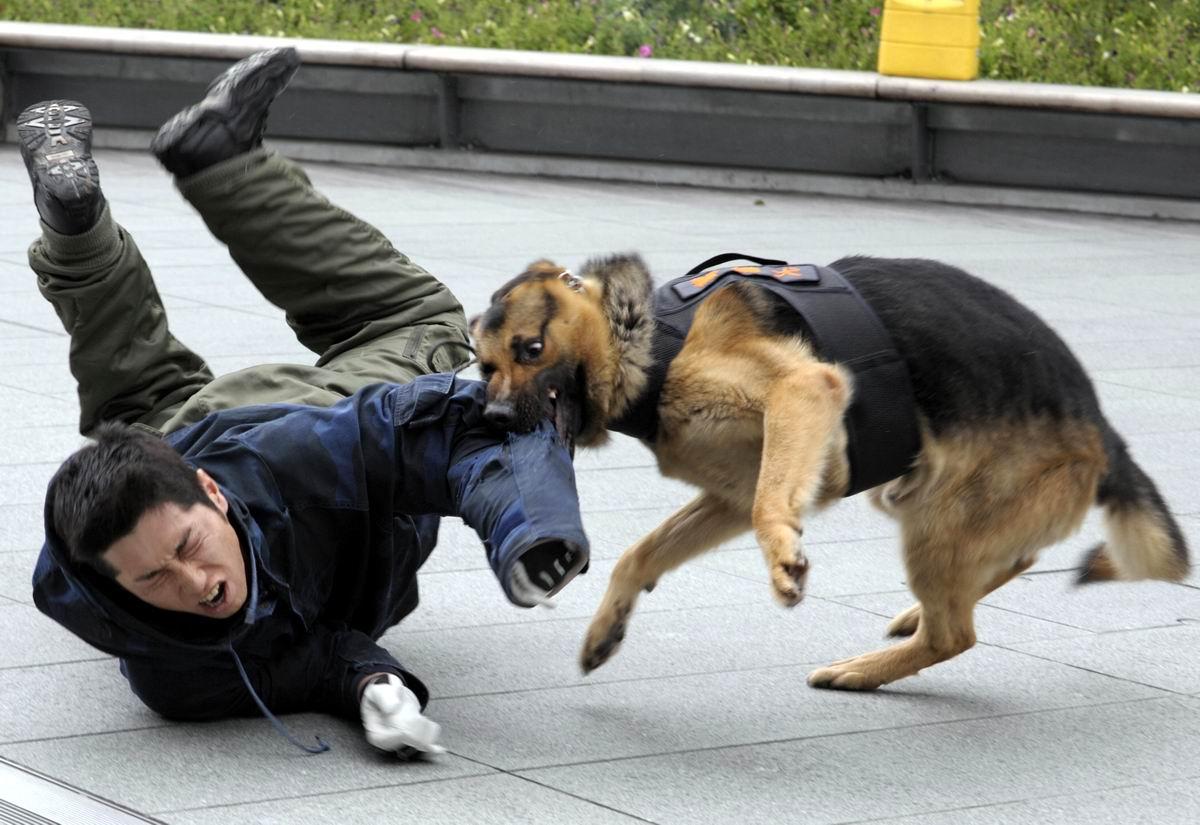 Сшибу с ног любого и еще покусаю: Свирепый полицейский пес
