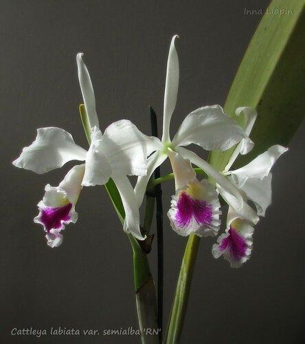 "Cattleya labiata var. semialba ""RN"""