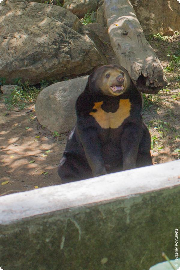 Азиатский черный медведь в зоопарке Кхао-Кхео, Тайланд