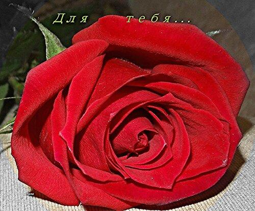 Красная роза для тебя!!