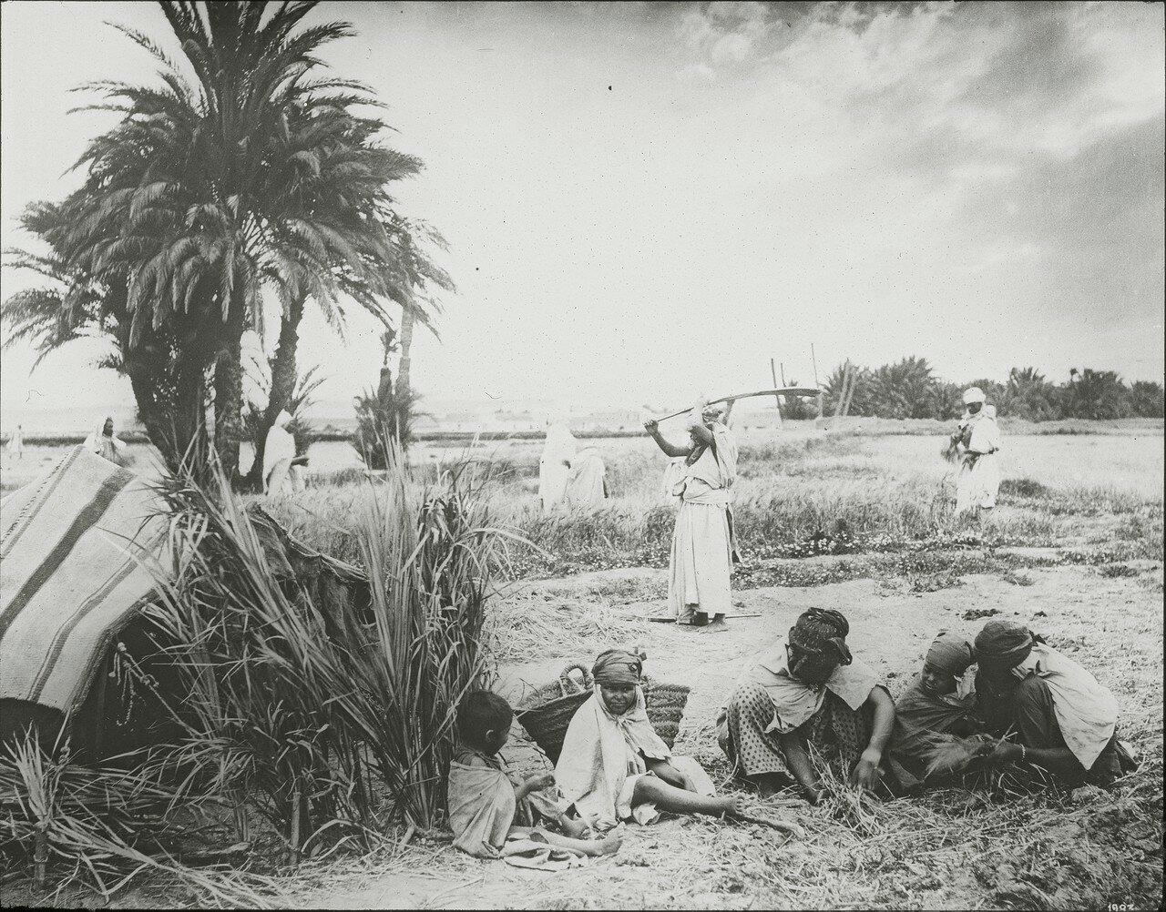 Молотьба в оазисе Бискра, Алжир