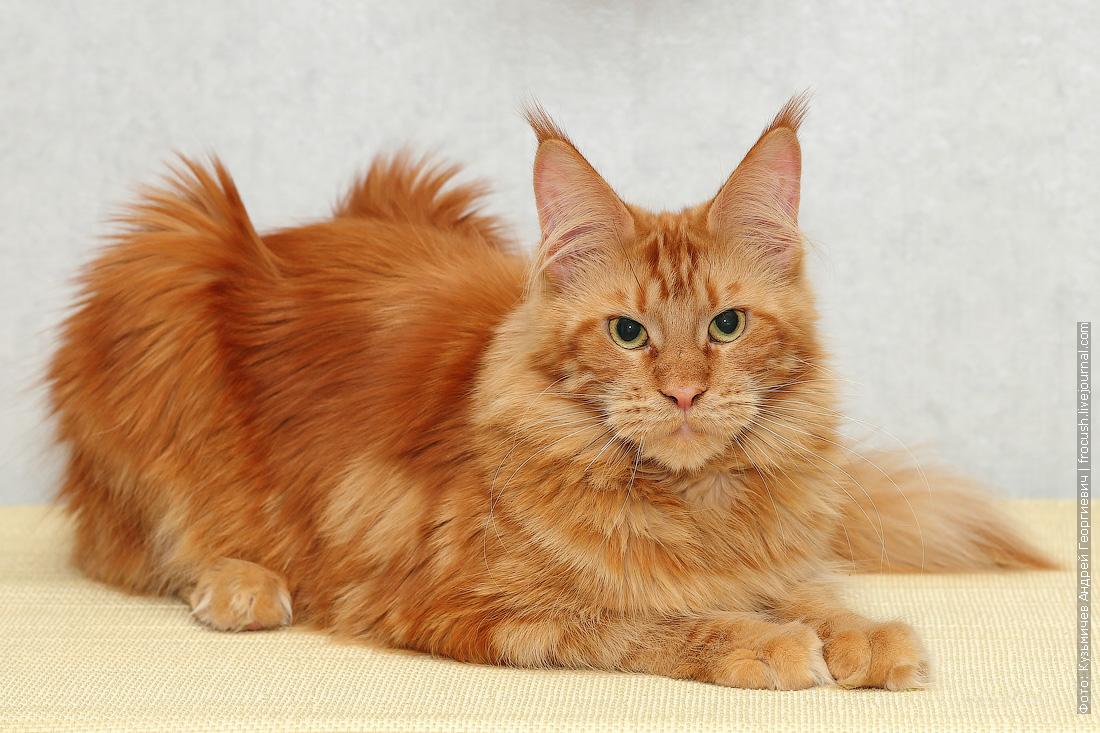 кошка мейн-кун красная