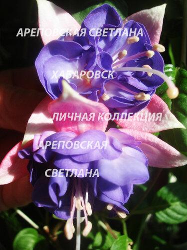 НОВИНКИ ФУКСИЙ. - Страница 5 0_150448_de1a216a_L