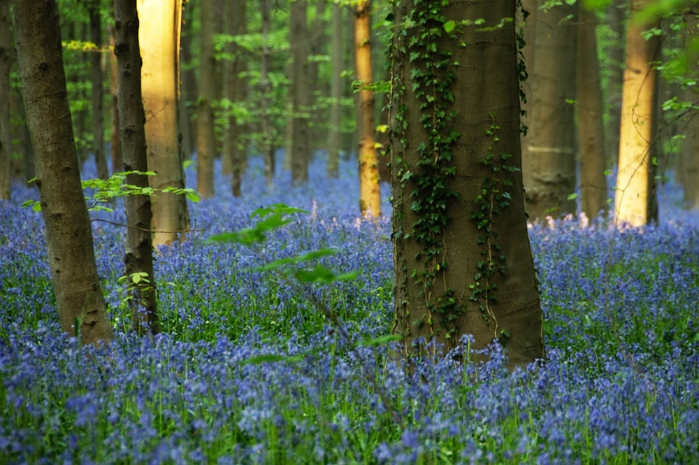 Синие цветочки Hallerbos, лес колокольчиков в Бельгии (фото)