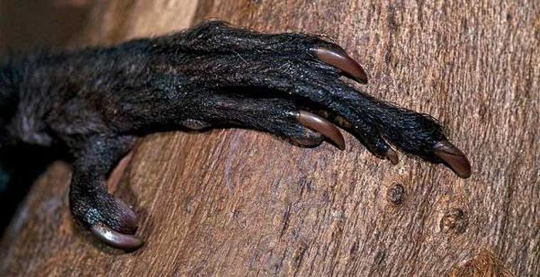5. Освоение земель Мадагаскара людьми привело к сокращению популяции руконожек. Их оставалось только