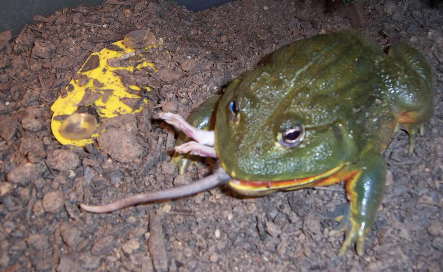 3. Древесная лягушка. Ареал обитания обычной древесной лягушки охватывает почти всю Северную Америку