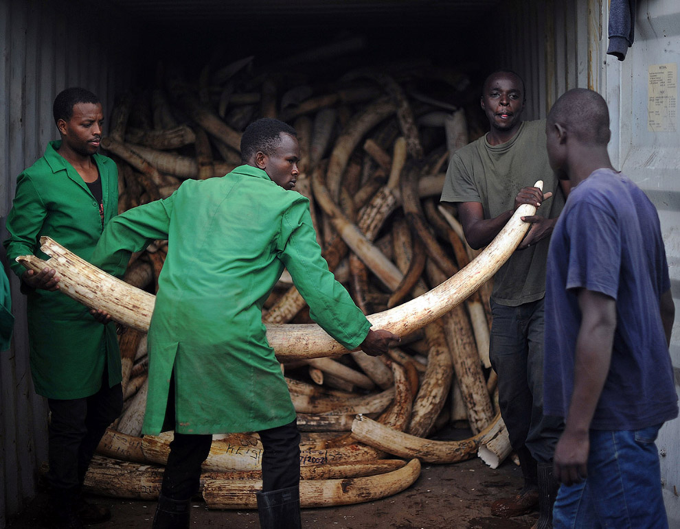 А вот в Центральной Африке у браконьерства порой совсем другая подоплека. Боевики и террористы испол