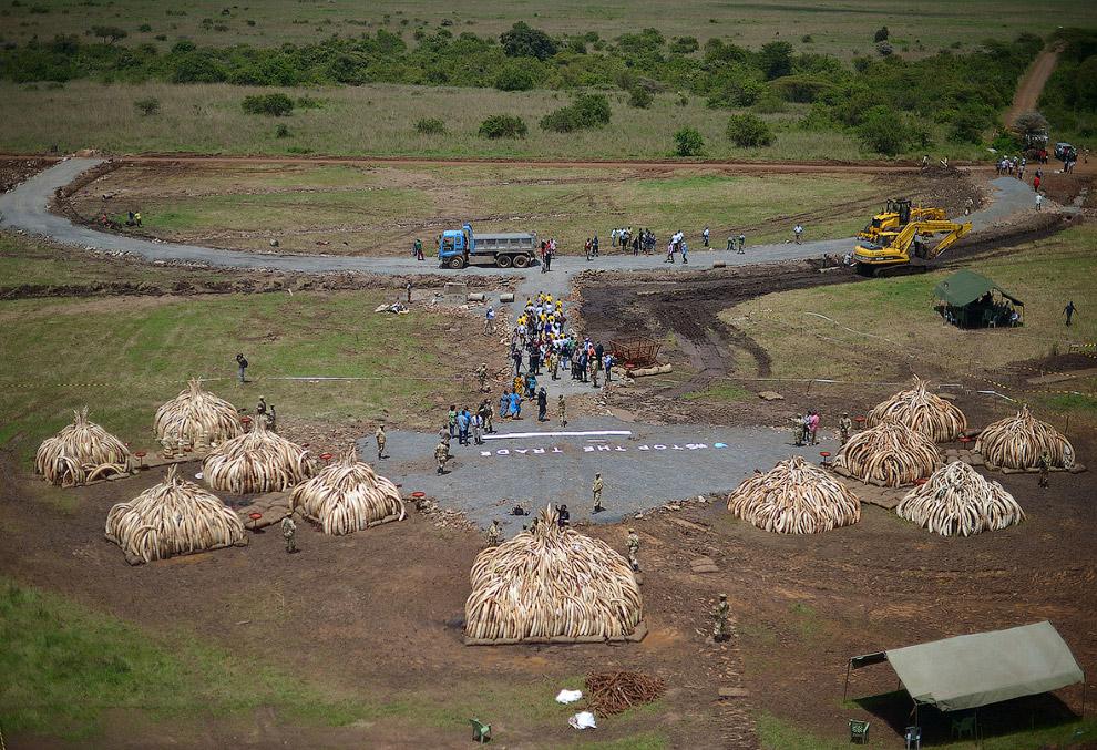 В Кении слоновьи популяции резко упали в десятилетие перед запретом 1989 года и она заявляет, что лю