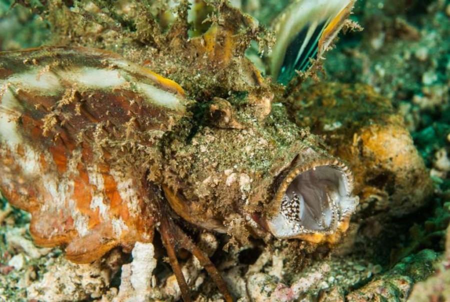 12. Рыба-скорпион.