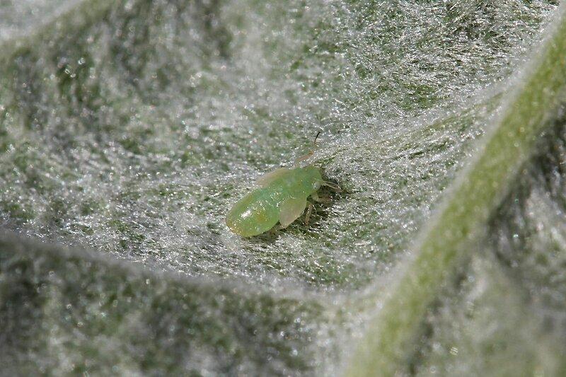 Тля светло-зелёного цвета с полупрозрачными зачатками крыльев сосёт сок из покрытого волосками яблоневого листа