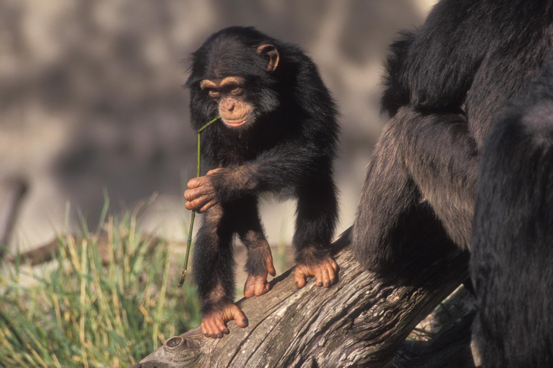 Підліток шимпанзе