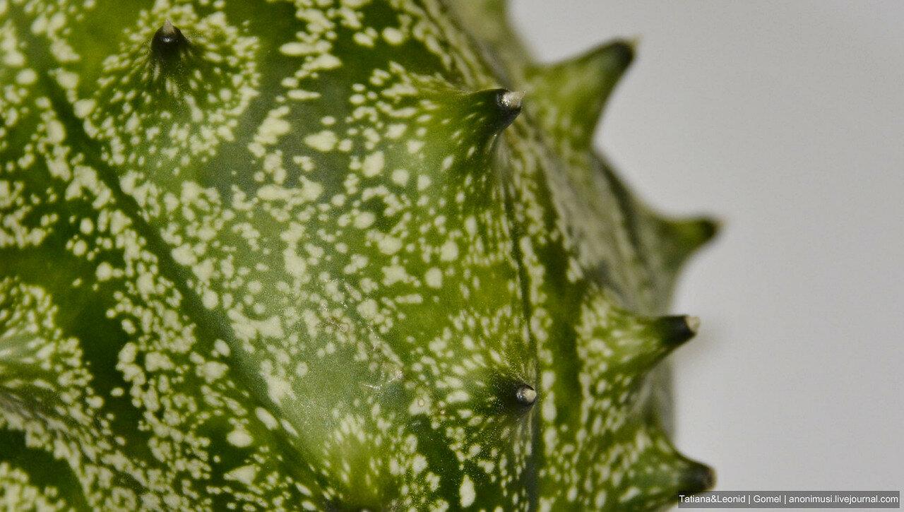 Ангурия (Cucúmis angúria)